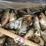 2755-Ladyfish-Heads-2_700sq
