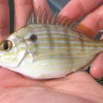 pinfish1