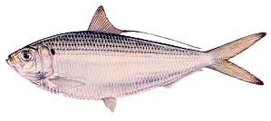 th herring