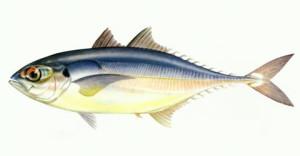 megalaspis-cordyla