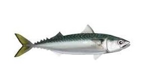 Mackerel, Northern, Irish