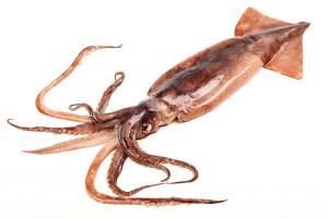 Illex-Squid-Illex-Argentinus1-300x200